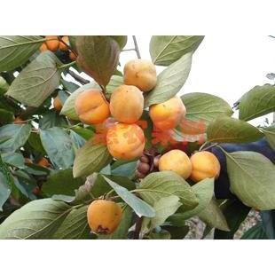 日本金柿柿子苗