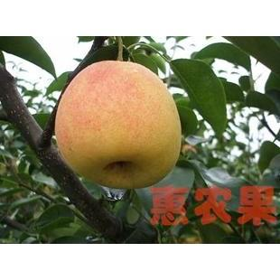 红香酥梨苗