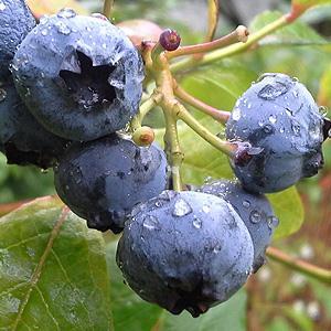 加拿大蓝莓