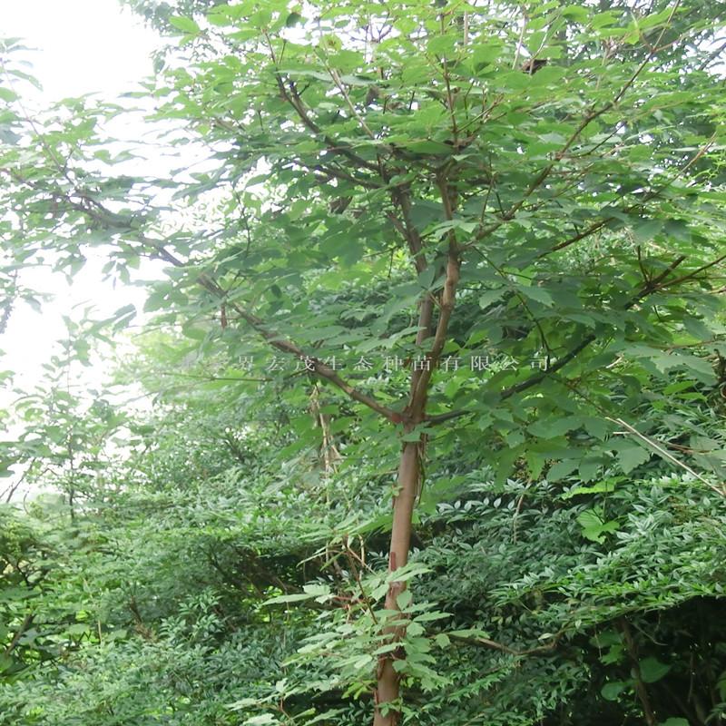 血皮槭为优良的绿化树种,木材坚硬,可制各种贵重器具,树皮的纤维