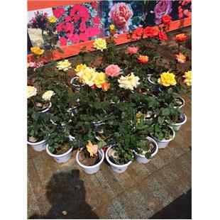 盆栽大花月季