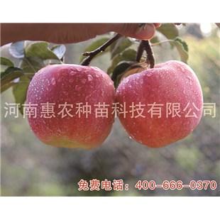 七月天仙苹果