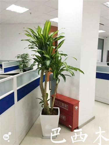 丛生巴西木