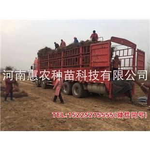 上海黄金蜜5号桃苗销售