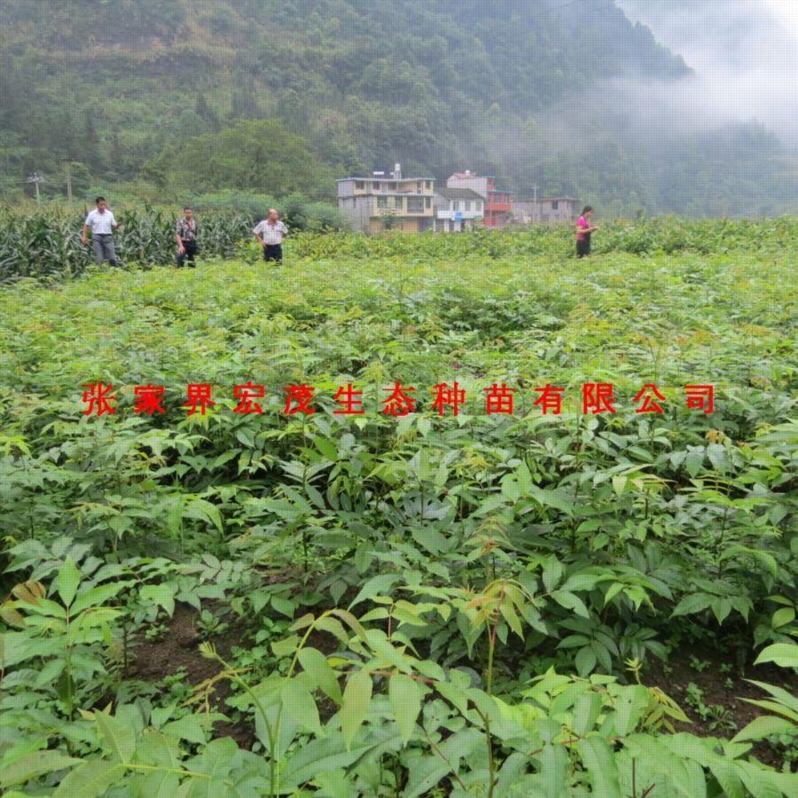 珍稀植物类种子:青钱柳