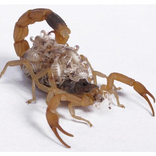 母蝎产下的小蝎子