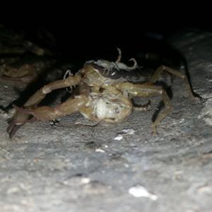 产仔中的母蝎