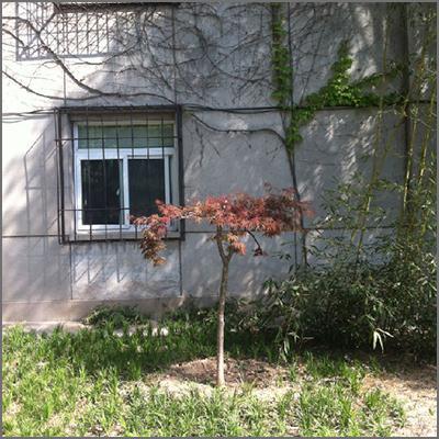北京香山公园日本红枫(鸡爪槭)试验案例