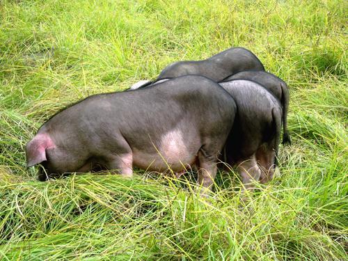 食草猪商品猪