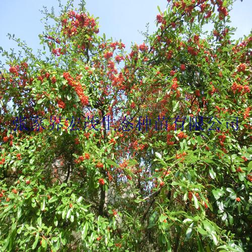 火棘树形优美,夏有繁花,秋有红果,果实存留枝头甚久