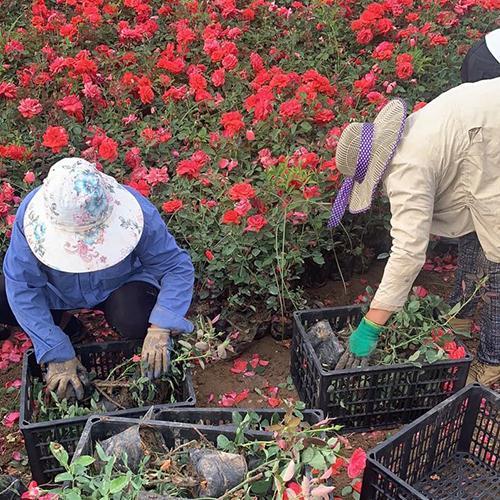 盆栽月季装筐