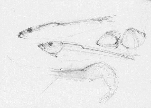 素描静物质感练习——鱼,虾,蛤蜊