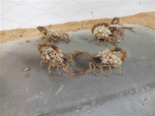 正在进食的母蝎