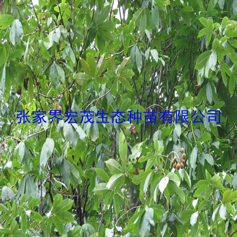 可作人行步道,公园,广场绿化树种,既可孤植也可群植,或与常绿树和阔叶