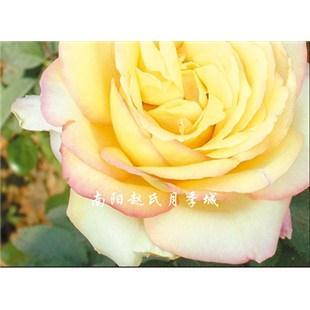 黄和平-大花月季