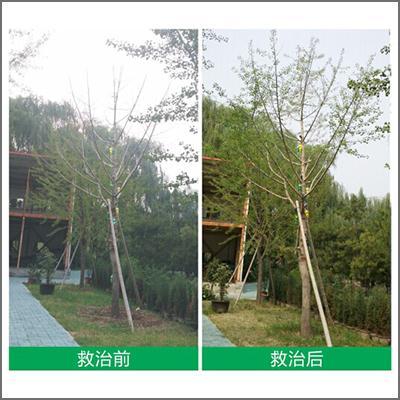 北京园博园银杏树大树救治案例分享