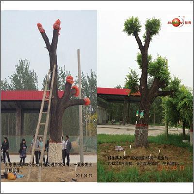 山东惠民60cm金叶榆大树救治成功大树救治