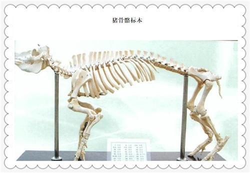 猪骨骼标本