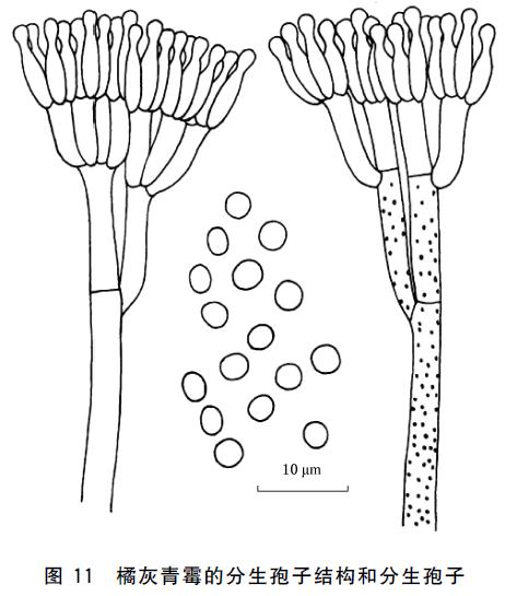 青霉菌手绘图片