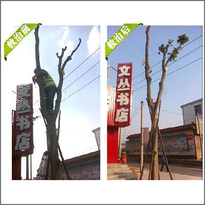 吉林省朝阳镇香椿树救治案例