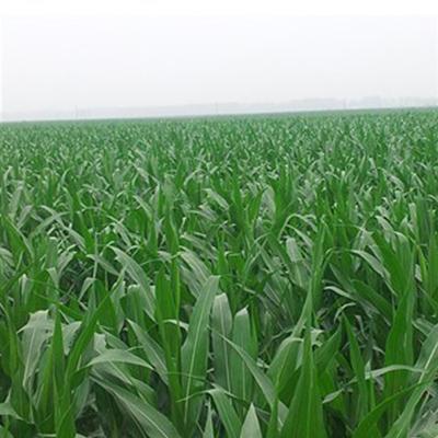 玉米实验田2