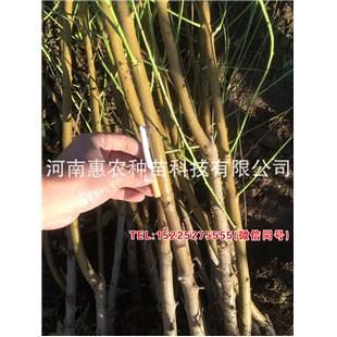浙江黄金蜜5号桃苗去哪